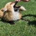 My brothers neighbor owns a pet fox, and it is the cutest thing ever