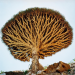 Dracaena cinnabari, the Socotra dragon tree or dragon blood tree, is a dragon tree native to the Socotra archipelago, part of Yemen.