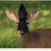 A deer with a bird on its head/face.