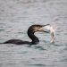 Cormorant catching a baby shark off the Isle of Man