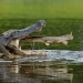 Alligator gar jumping into alligators mouth.