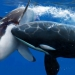 Killer whale attacks a shark