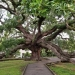 The 250 year old, Treaty Oak in Jacksonville, Florida.